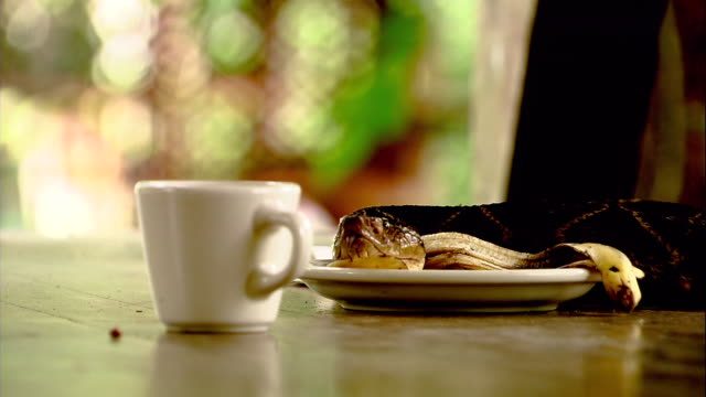 a fer-de-lance snake slithers across a tabletop and rests its head on a saucer. - saucer stock videos & royalty-free footage