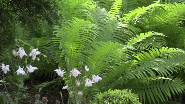 Fern and Columbine flower in garden