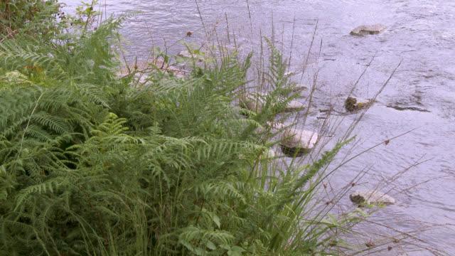 Fern beside a Scottish river in a rural setting