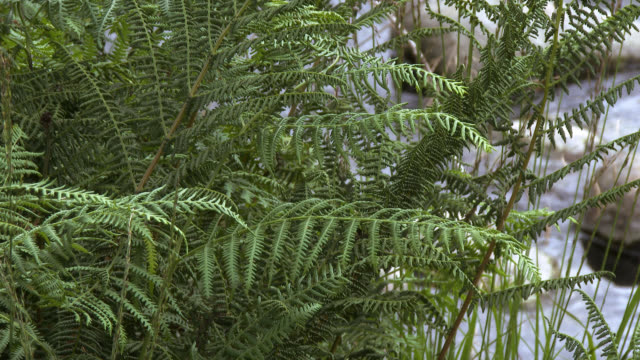 fern beside a scottish river in a rural setting - johnfscott video stock e b–roll