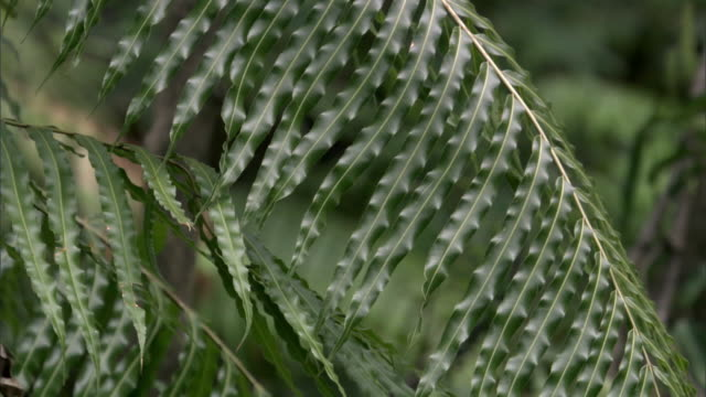 "stockvideo's en b-roll-footage met fern frond in forest, madagascar - ""bbc natural history"""