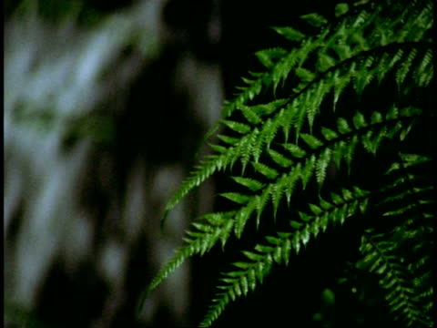 cu fern frond, with waterfall in background, western ghats, india - frond stock videos & royalty-free footage