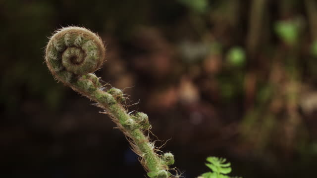 tl fern fronds unfurl in forest, uk - 植物 個影片檔及 b 捲影像