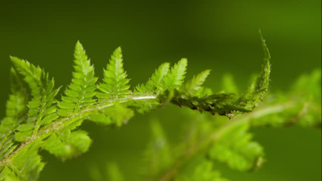 tl fern fronds unfurl in forest, uk - foglia video stock e b–roll