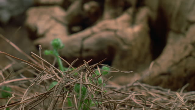 A fern grows through pine needles on the forest floor. Available in HD.
