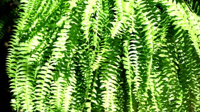 Fern in hanging basket blowing in breeze. Summer plant.