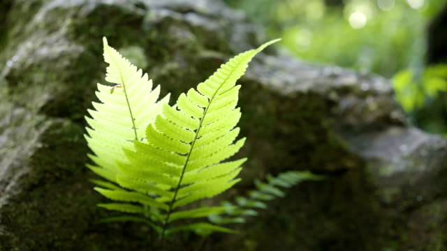 4k, fern on the rock near waterfall in rainforest. - fern stock videos & royalty-free footage