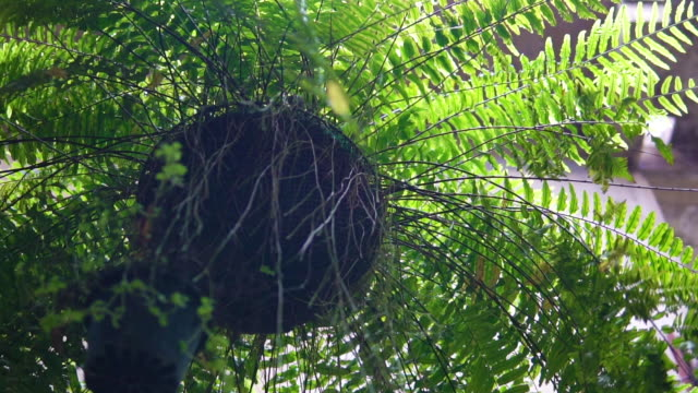 fern plant hanging top with pot. - dicksonia antarctica stock videos & royalty-free footage
