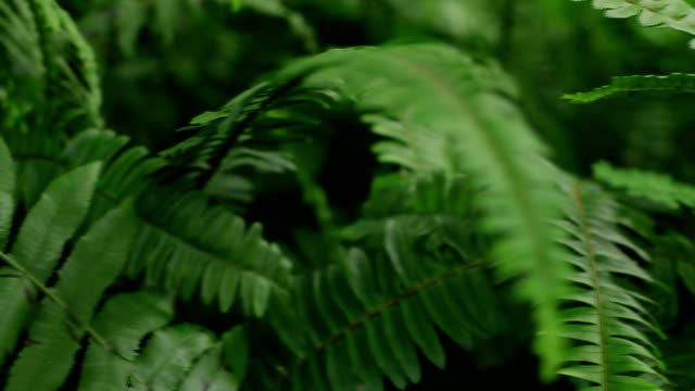 Fern : Rainforest