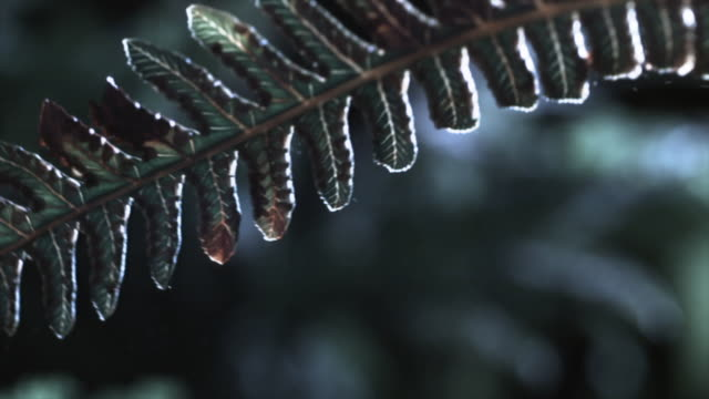 A fern releases spores in a gentle breeze. Available in HD.