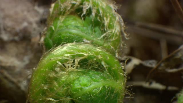 fern sprouting (hadonggun,south korea) - bracken stock videos and b-roll footage