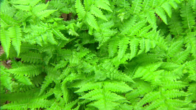 fern sprouting (hadonggun,south korea) - fern stock videos & royalty-free footage