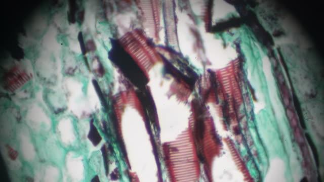 vídeos de stock, filmes e b-roll de microscopia de luz de l.s.under do caule de samambaia - célula vegetal