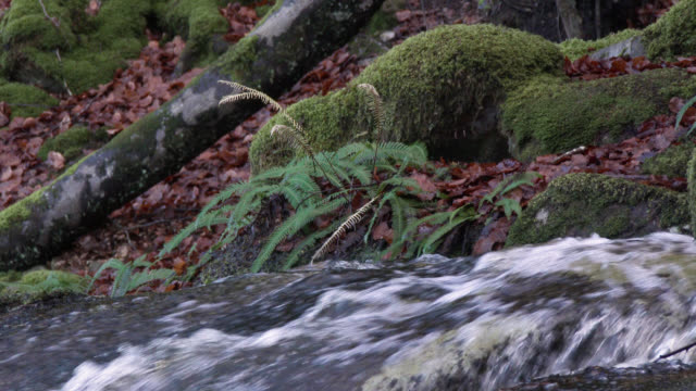 Fern swaying in a gentle breeze beside a waterfall in Scottish woodland during autumn