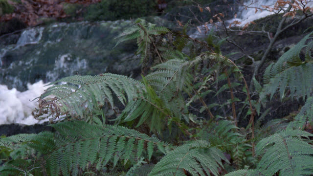 Fern swaying in a gentle breeze in front of a waterfall in Scottish woodland during autumn