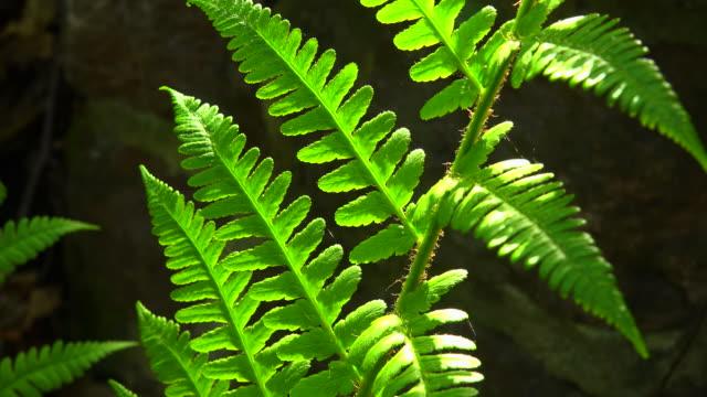 Fern-leaves in backlight