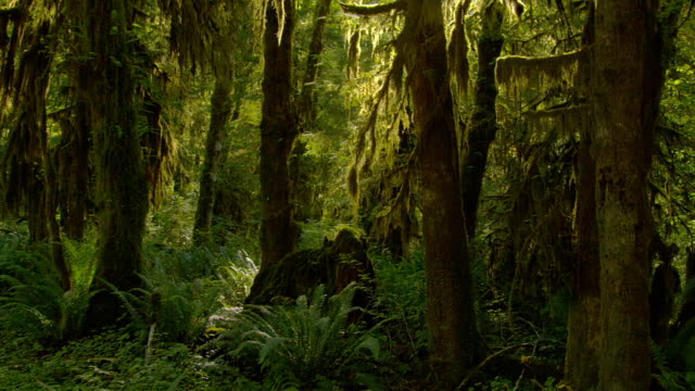 Ferns and hemlock grow in the dense Olympic Park forest.