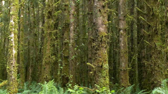 vídeos de stock e filmes b-roll de ms zo ferns and trees covered with moss in forest / sandspit, british columbia, canada - banco de areia
