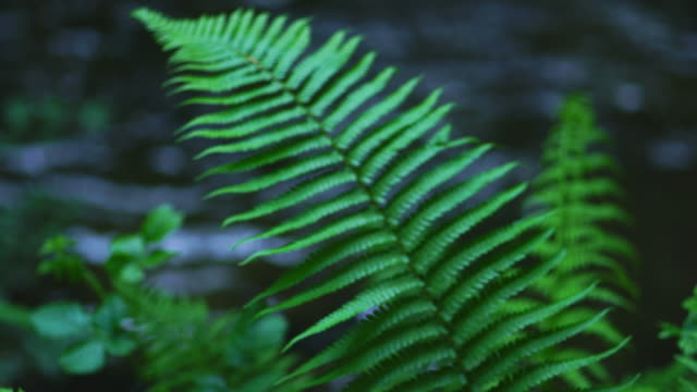 stockvideo's en b-roll-footage met ferns in springtime, saja river, cabezon de la sal, cabezon de la sal municipality, cantabria, spain, europe - uitfaden