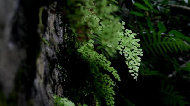 ferns tropical plant of hawaii, big island - big hair stock videos & royalty-free footage