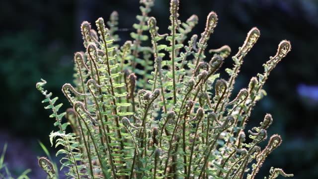 Ferns unfurling in Springtime with spiders silk, Gramere, Lake District National Park, Cumbria, UK.