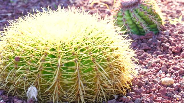 ferocactus in sunlight 4k - barrel cactus stock videos and b-roll footage