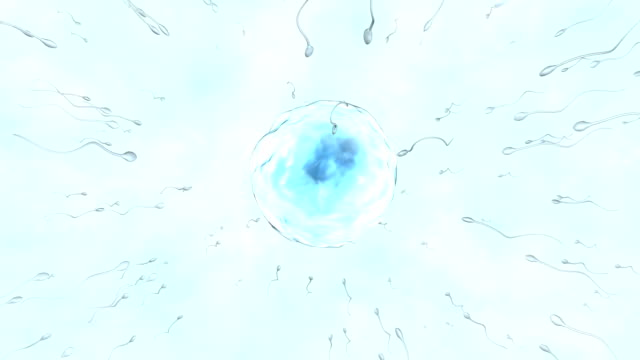 fertilisation. animation of sperm cells attempting to penetrate a human egg. only one of these sperm cells fertilises the egg. fertilisation occurs when the sperms genetic material (deoxyribonucleic acid, dna) fuses with the eggs dna forming a zygote - eizelle stock-videos und b-roll-filmmaterial