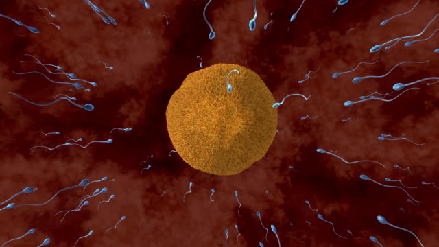 fertilisation. animation of sperm cells attempting to penetrate a human egg. only one of these sperm cells fertilises the egg. fertilisation occurs when the sperms genetic material (deoxyribonucleic acid, dna) fuses with the eggs dna forming a zygote - sperm stock videos & royalty-free footage