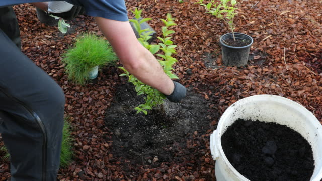 fertilising and watering garden privet - gardening glove stock videos & royalty-free footage