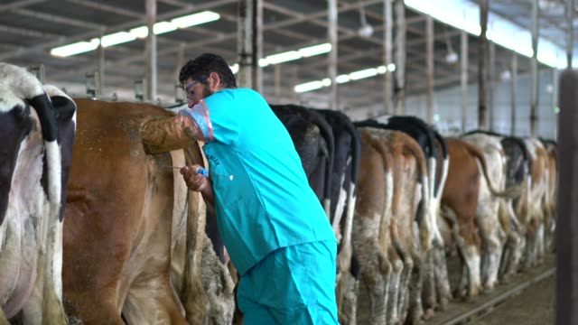 stockvideo's en b-roll-footage met vruchtbaarheids testen melkvee rundvee - kunstmatige inseminatie