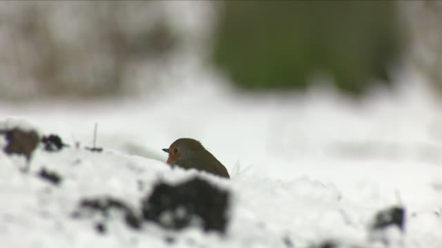festive robin in snow - robin day stock videos & royalty-free footage