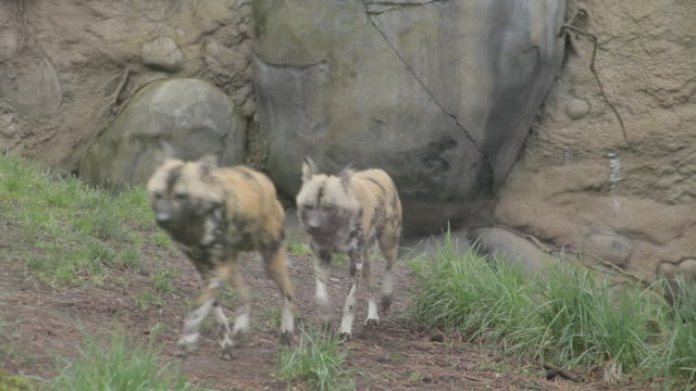 A few African Wild Dogs run together toward the camera