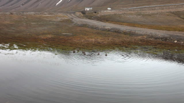 a few common eiders (somateria mollissima) at a small lake in spitsbergen, svalbard archipelago - eider duck stock videos & royalty-free footage