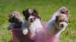 A few cool little puppies in a pink basin
