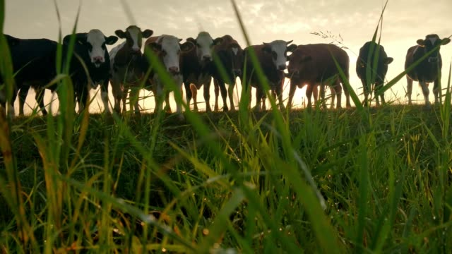 few cows on relaxed on pasture during sunrise - grazing stock videos & royalty-free footage