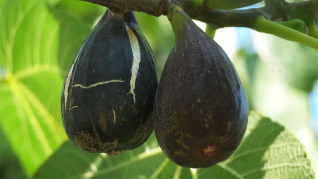 vídeos y material grabado en eventos de stock de ficus carica, known as the common fig. - tierra cultivada