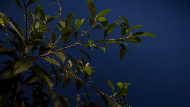 a ficus plant grows larger against a blue screen. available in hd. - chroma key stock videos & royalty-free footage