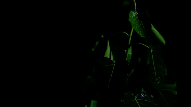 ficus religiosa plant at night and rainy day - water form stock videos and b-roll footage