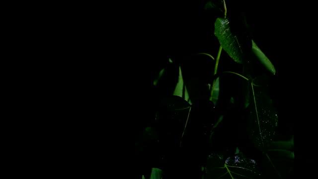 vídeos de stock, filmes e b-roll de planta do religiosa do ficus na noite e no dia chuvoso - water form