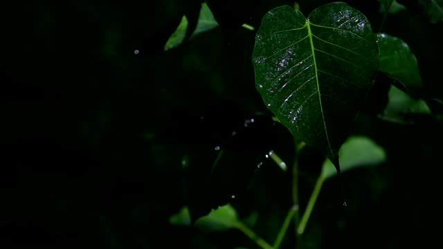 ficus religiosa plant at night and rainy day - raindrop stock videos & royalty-free footage