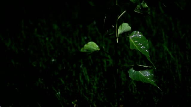 vídeos de stock, filmes e b-roll de planta do religiosa do ficus durante a estação chuvosa - water form