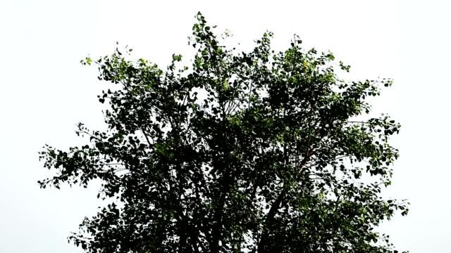ficus religiosa tree - deciduous tree stock videos & royalty-free footage