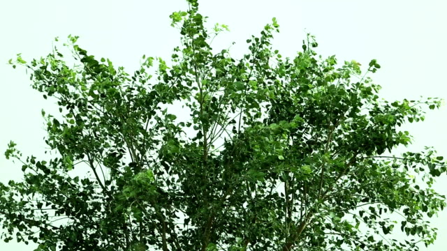 ficus religiosa (oxygen tree) - deciduous tree stock videos & royalty-free footage