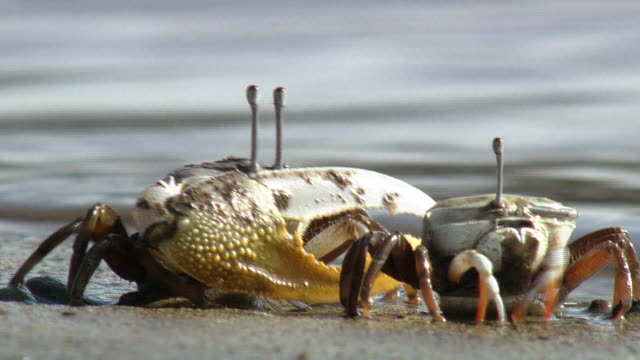 fiddler crab feeding - crab stock videos and b-roll footage