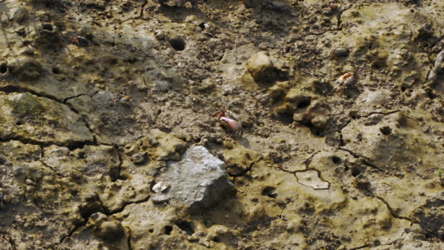Fiddler crabs (Uca sp.) forage on mud at low tide, Quanzhou, Fujian, China