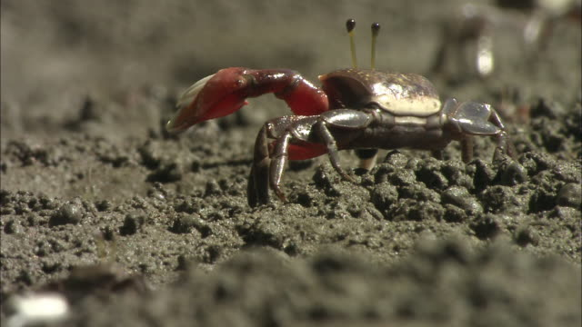 fiddler crabs wave their claws in the air as they hop around the ground. - claw stock videos and b-roll footage