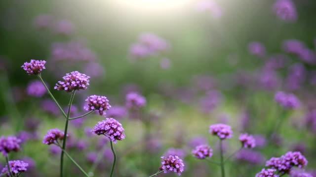 feld gegen sonnenlicht mit lila blüten und fliegenden honigbiene. - gartenanlage stock-videos und b-roll-filmmaterial