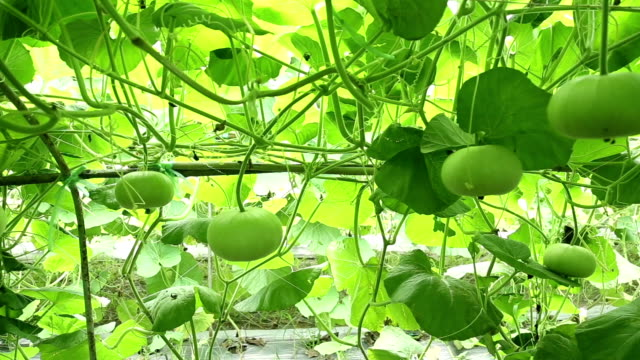 field bottle gourd video slider - grounds stock videos and b-roll footage