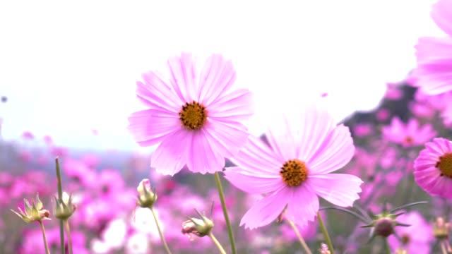 field cosmos pink flowers