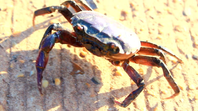 field crab - krabbe stock-videos und b-roll-filmmaterial